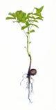 Walnut seedling, Juglans regia Stock Photo