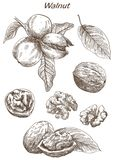 Walnut set of sketches. Walnut set of vector sketches on an white background Royalty Free Stock Photography