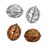 Walnut sketch of whole nut, nutshell and kernel. Walnut fruit sketch of whole nut and kernel. Opened nutshell of walnut with brown nut isolated icon for healthy royalty free illustration