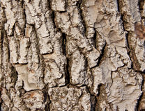Walnut skin. Walnut tree - skin of old tree Stock Image