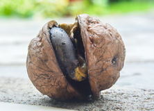 Walnut sprout Royalty Free Stock Photography