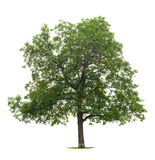 Walnut Tree Royalty Free Stock Photography
