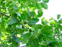 Walnut-tree Stock Photo