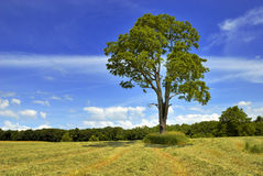Walnut Tree Stock Images