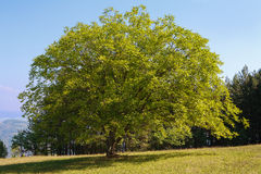 Walnut tree. On a green field with blue sky Stock Photos