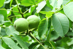 Walnut tree Stock Photo