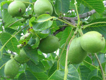 Green walnuts on a tree. Ripening green walnuts on a leafy tree stock photo