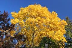 Walnut tree in autumn Stock Photos