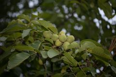 Walnut on tree. Autumn harvesting on farm. Walnut orchard. Vegan Stock Photography