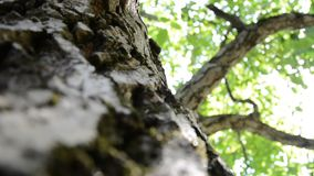 Walnut tree bark. During the summer day stock footage