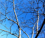 Walnut tree in blue background Royalty Free Stock Photography