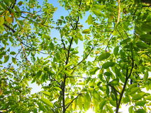 Walnut tree branches. Photography of walnut branches and green leaves with blue sky royalty free stock photography