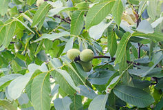 Walnut tree close up with green fruits, Juglans regia tree Royalty Free Stock Image