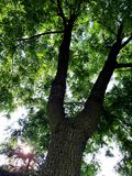 Walnut Tree Closeup. This is a Walnut Tree closeup  ,looking up while laying under neath it in a yard here in Wisconsin  int he country Royalty Free Stock Photos