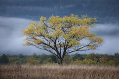 Walnut tree with colorful yellow leaves in autumn and fog in the background Royalty Free Stock Photography
