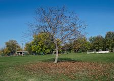 Walnut tree at field, with fallen leaves around it, autumn time.  Royalty Free Stock Photo