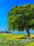 Walnut tree in field Royalty Free Stock Images