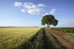 Walnut tree in a field of wheat Royalty Free Stock Image