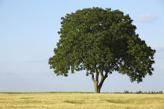 Walnut tree in a field of wheat Royalty Free Stock Photography
