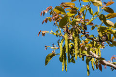 Walnut tree flowers and leaves in springtime Royalty Free Stock Photos