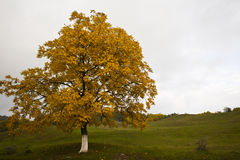 Walnut tree foliage Royalty Free Stock Image