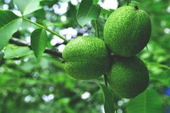 Tree, green, fruit, food, leaf, branch, walnut, nature, nut, garden, fresh, leaves, healthy, agriculture, lemon, plant, organic, r. Ipe, apple, walnuts, lime Stock Photography