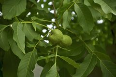 Walnut. On the tree in the garden Stock Photography