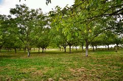 Walnut tree with green fruits Royalty Free Stock Images
