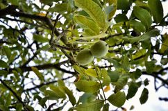 Walnut tree with green fruits Royalty Free Stock Photo