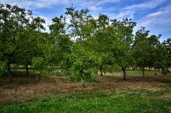 Walnut tree with green fruits Stock Images