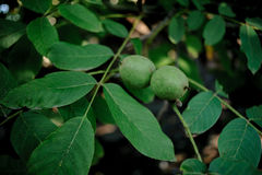 Walnut Tree Grow waiting to be harvested Stock Images