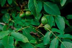 Walnut Tree Grow waiting to be harvested Royalty Free Stock Image