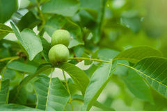 Walnut Tree Grow waiting to be harvested Royalty Free Stock Images