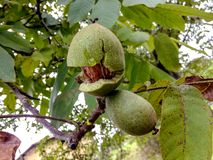 Ripe nuts of a Walnut tree royalty free stock photography