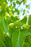 Walnut Tree Grow waiting to be harvested Stock Photography