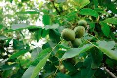 Walnut Tree Grow waiting to be harvested Royalty Free Stock Photos