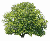 Walnut tree isolated Royalty Free Stock Images