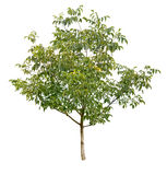 Walnut tree Royalty Free Stock Photo
