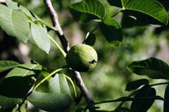 Walnut tree - Juglans regia Stock Images