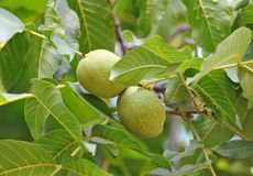 Walnut tree (Juglans regia) with fruit Stock Images
