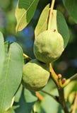 Walnut tree (Juglans regia) with fruit Stock Photography