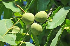 Walnut tree (Juglans regia) with fruit Stock Photos