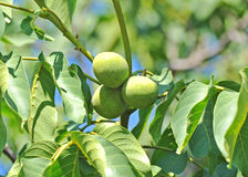 Walnut tree (Juglans regia) with fruit Royalty Free Stock Image