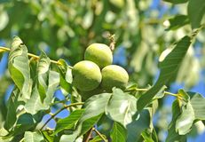 Walnut tree (Juglans regia) with fruit Stock Images