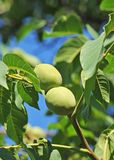 Walnut tree (Juglans regia) with fruit Royalty Free Stock Images