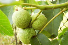 Walnut tree Juglans regia with fruit Stock Image