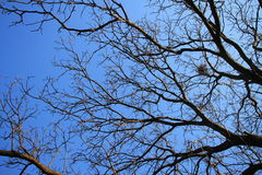 Walnut tree without leaves with blue sky in background Stock Photo