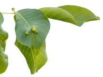 Walnut Tree leaves disease damaged by mite Royalty Free Stock Image