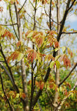 Walnut Tree Leaves in Spring Royalty Free Stock Images