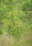 Walnut tree Stock Images